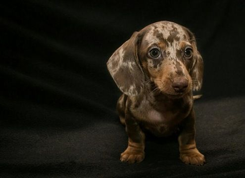 Dachshund Puppy For Sale In Lake Stevens Wa Adn 25377 On