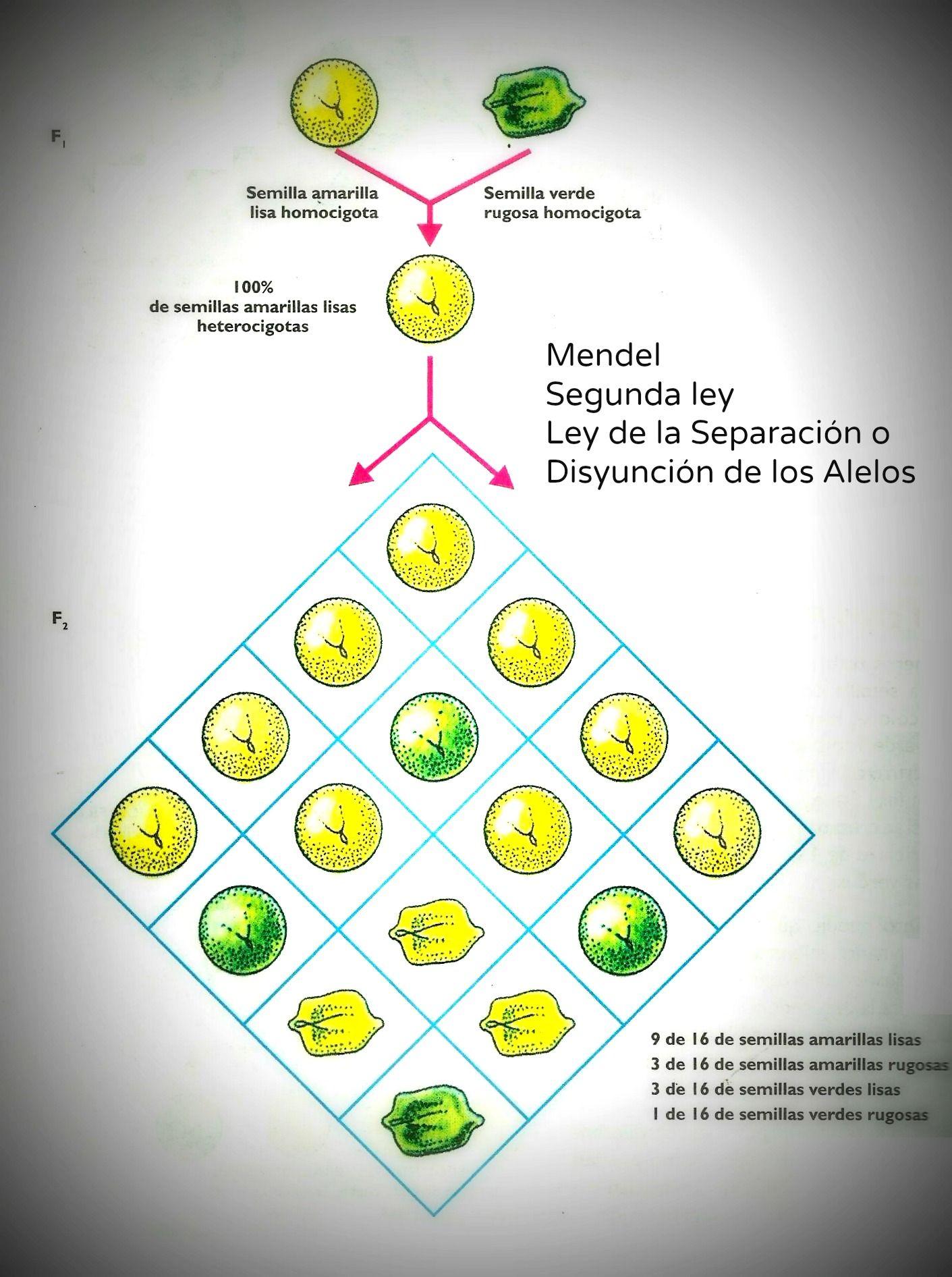 Segunda Ley De Mendel 2 ª Ley De Mendel Ley De La Segregacion De