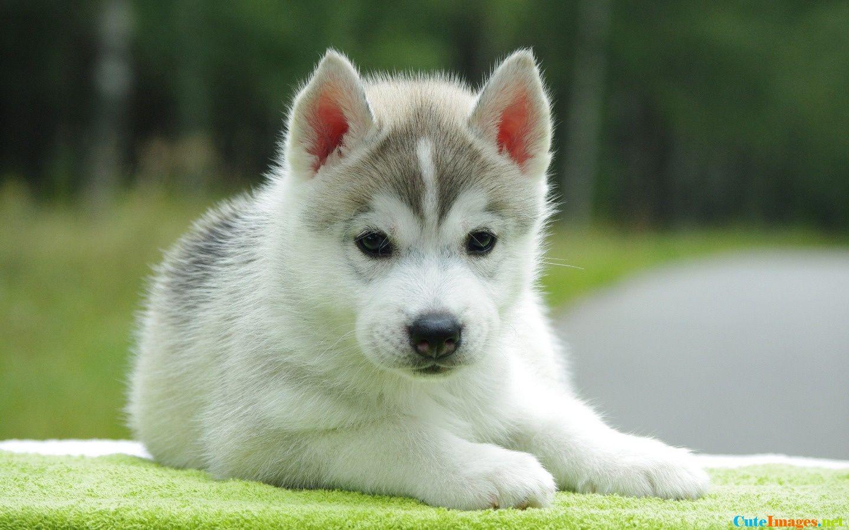 Husky puppy Pomsky puppies, Cute animals, Cute husky puppies