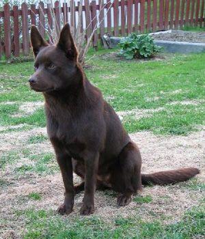 Australian Kelpie Breed Info Pictures Characteristics Hypoallergenic No Australian Dog Breeds Black Dogs Breeds Dog Breeds