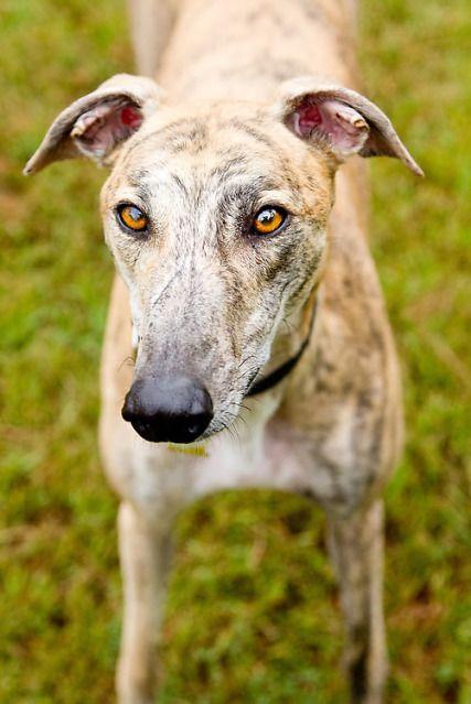Sweet face – Greyhound