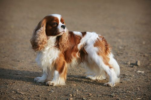 The Cavalier King Charles Is An Elegant Energetic Breed That Was Made A Tv Star When Featured On And City As Charlotte S Dog