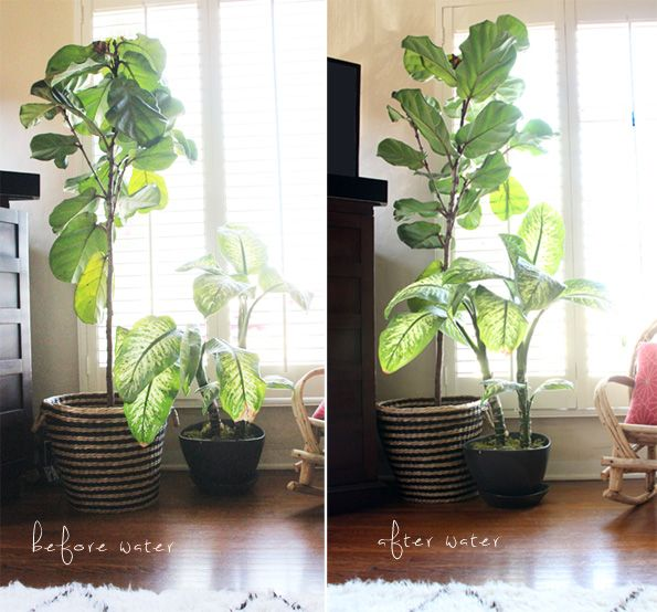Tips For Caring For Fiddle Leaf Figs Pepper Design Blog Fiddle Leaf Fig Fiddle Design
