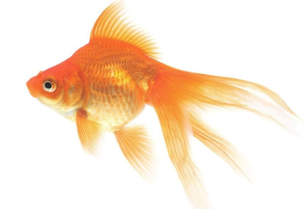 Goldfish On A White Background Goldfish Pet Goldfish Fish Drawings