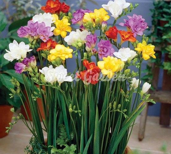 Frezie Cu Flori Duble Mix Sweet Garden Bulb Flowers Fragrant Plant Flower Seeds