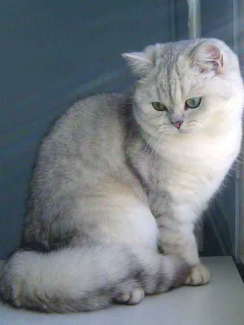 Silver Shaded British Shorthair By Les Chroniques De Gaël Kitties