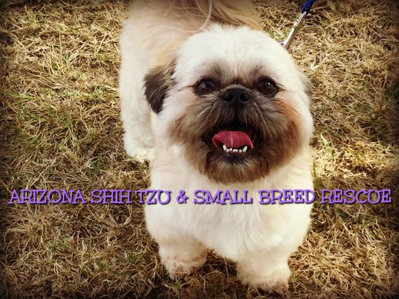 Get To Know Arizona Shih Tzu And Small Breed Rescue Small Breed