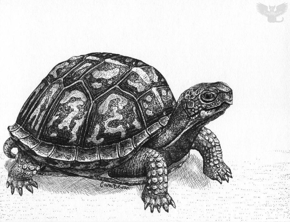 Eastern Box Turtle by Cara Bevan/Art from the Heart ...