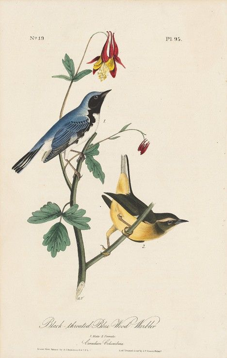 John James Audubon Octavo First Edition, circa 1839 Plate: 95 Black-throated Blue Wood-Warble