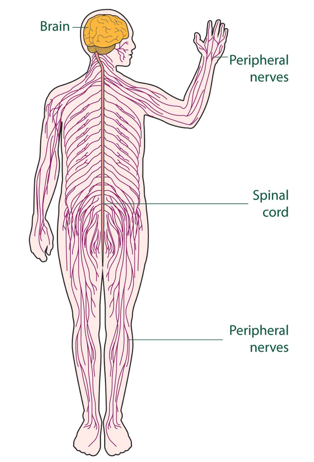 Simple Central Nervous System Diagram