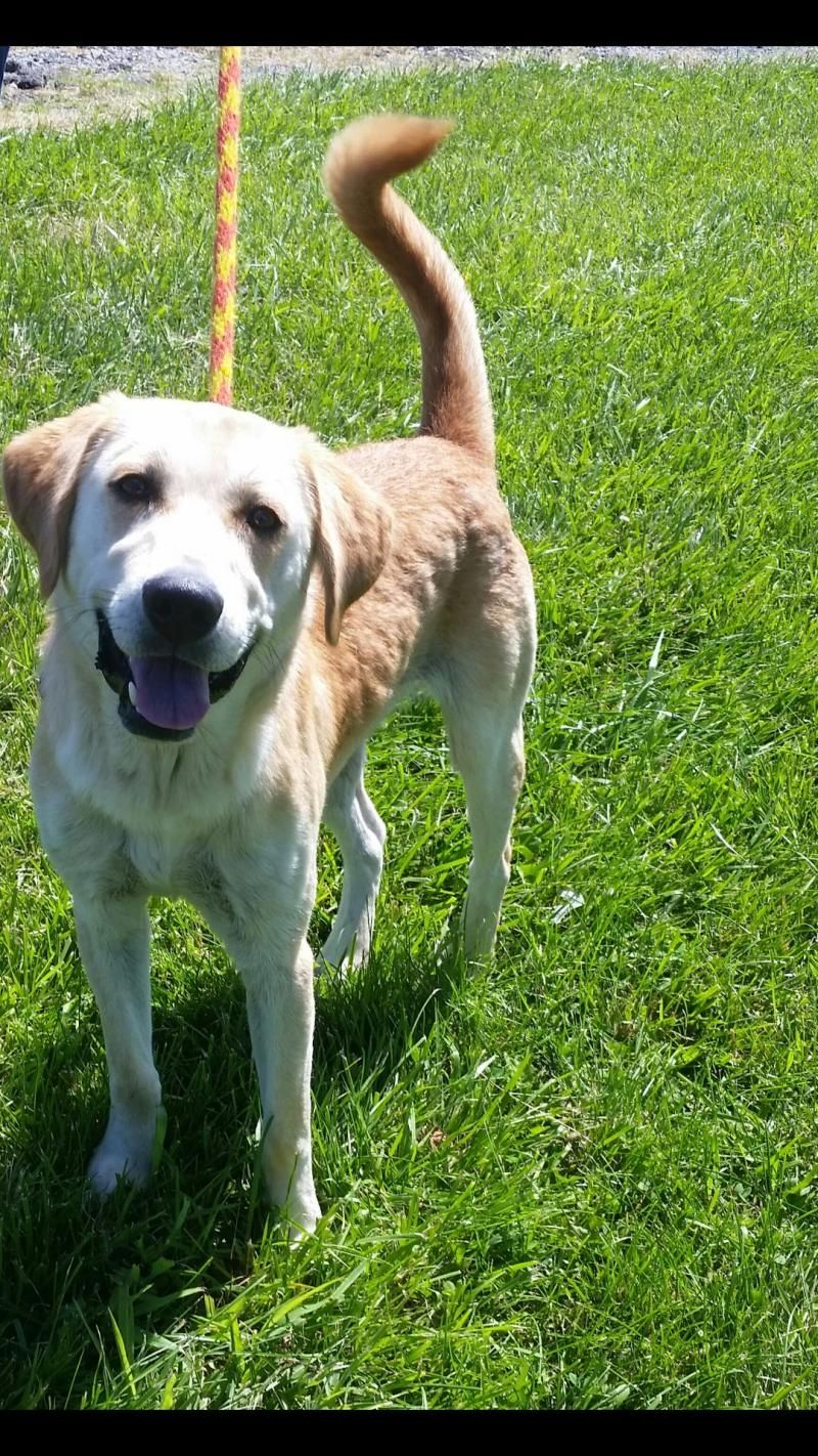 Adopt Mason On Labrador Retriever Labrador Australian Cattle Dog