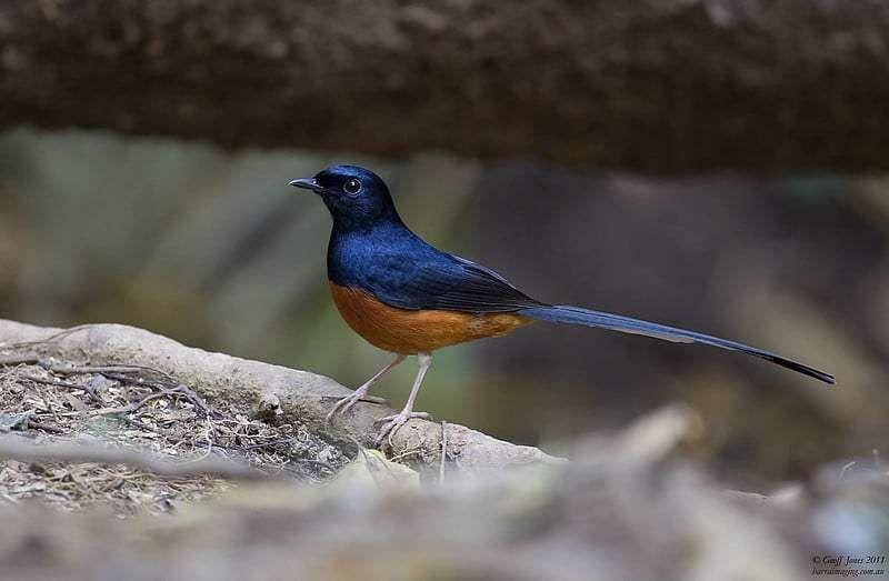 9 Cara Merawat Burung Murai Agar Gacor Dan Tidak Mudah Sakit Burung Murai Jalak