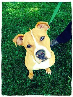 Boxer American Bulldog Mix Dog For Adoption In Morristown New Jersey Bailey American Bulldog Mix Pet Adoption Adoption