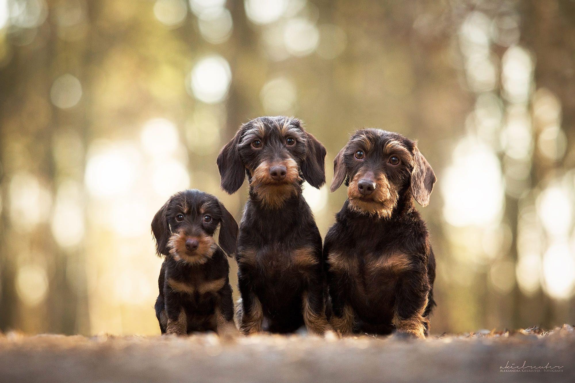 Wirehaired Dachs By Aleksandra Kielreuter Cute Dogs Wire