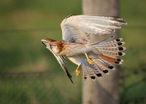 Nankeen Kestrel, Falco cenchroides, grasshopper hunting part 2