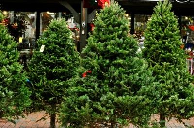 Understanding Christmas Tree Varieties The Christmas Tree Variety That Will Work Best Christmas Tree Varieties Types Of Christmas Trees Rustic Christmas Tree