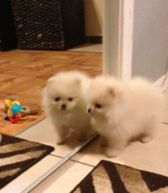 Pomeranian Puppy Teacup White Tiffany Cute Puppies Cute