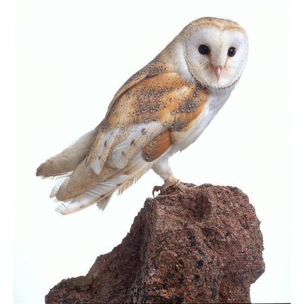 dkimages discover animals barn owl tyto alba liked on