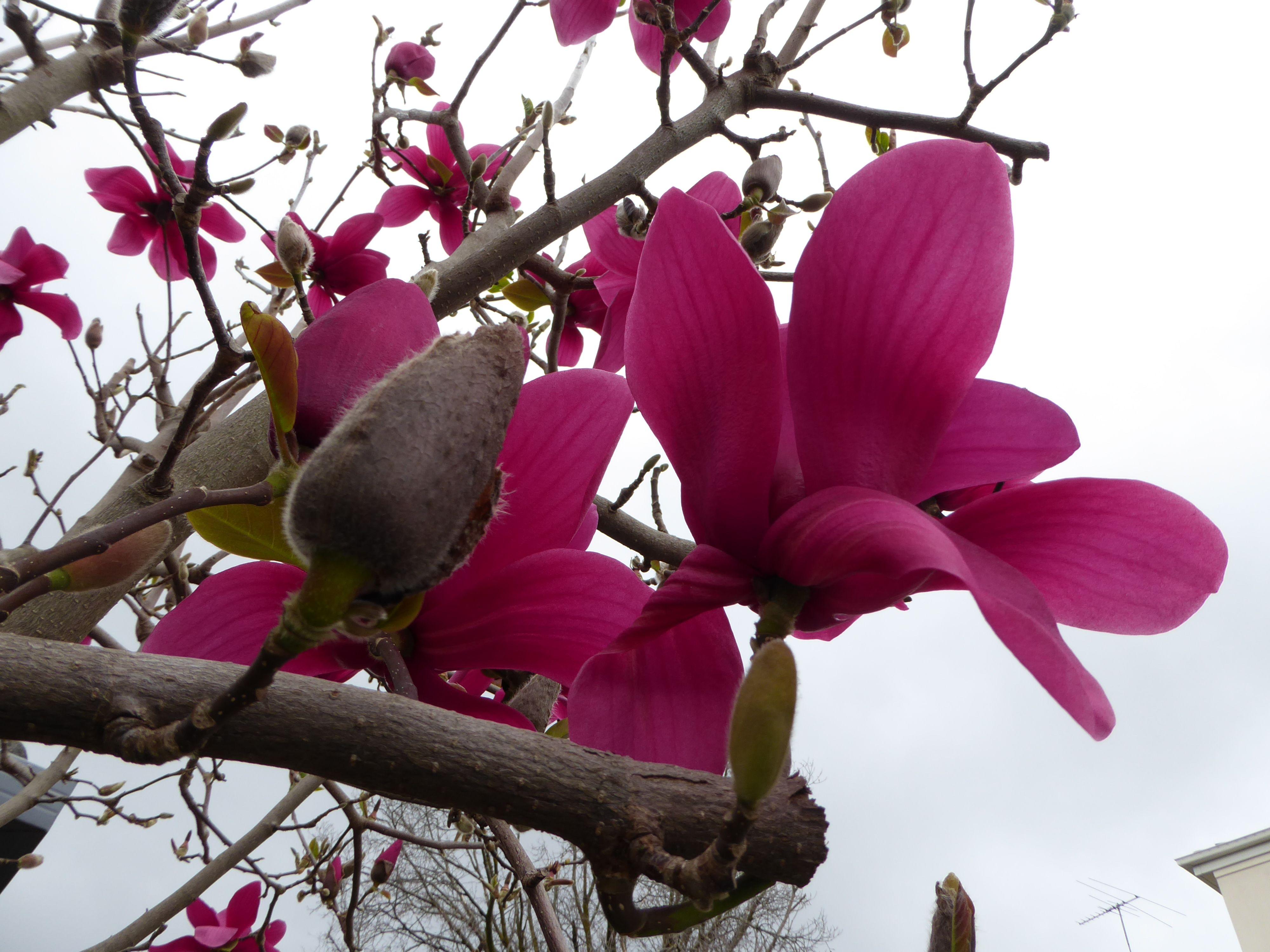 Vulcan Magnolia Tree Gardening Pinterest Magnolia Trees And