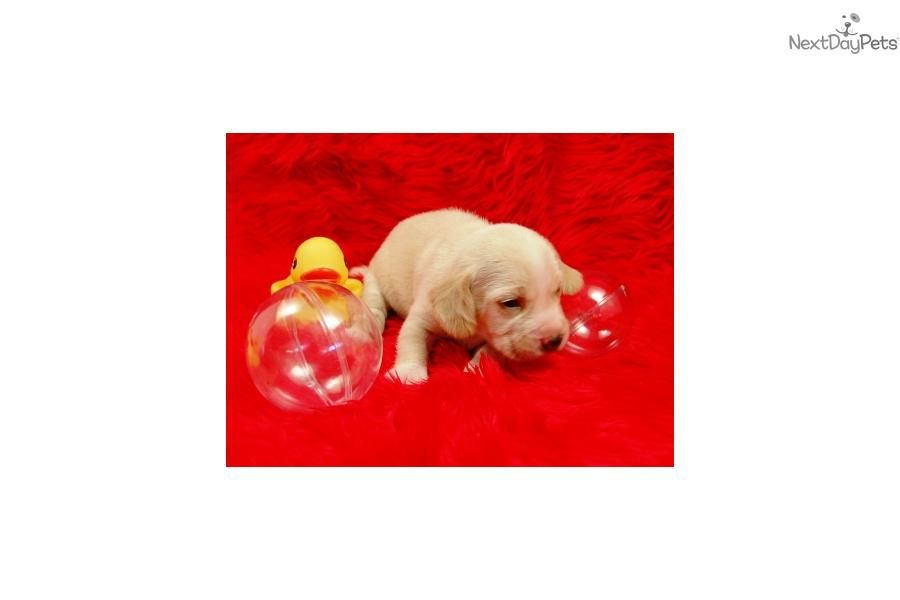 Meet Female A Cute Beagle Puppy For Sale For 500 Mini Beagle