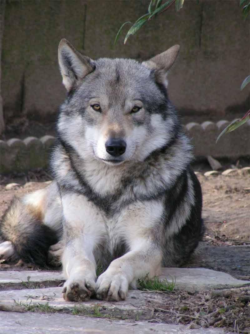 Chien-loup De Saarloos : chien-loup, saarloos, Chien-loup, Saarloos, Hybrid, Dogs,