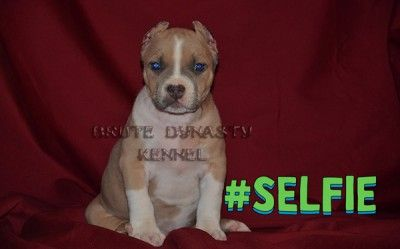 Www Brutedynastykennel Com Bully Pitbull Puppies For Sale Brute
