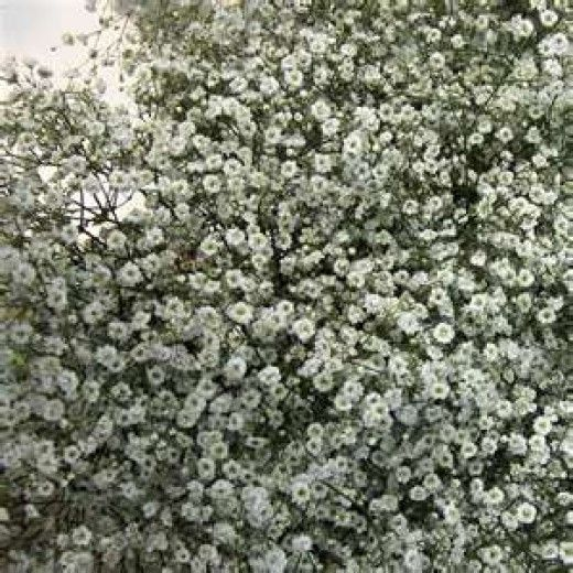 when do you usually cut the wedding cake how to grow baby s breath or gypsophilia pretty pretty 27110