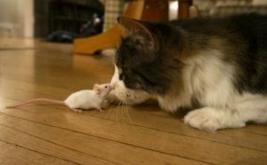 (CBC Canada, September 2013) Parasite infects a Mouse that makes it unafraid of cats as it infects the mouses brain and controlls its sense of fear. It then makes it much easier for its predator, the cat, to eat the mouse and therefore the parasite and it will live in the cat where it wants to be.