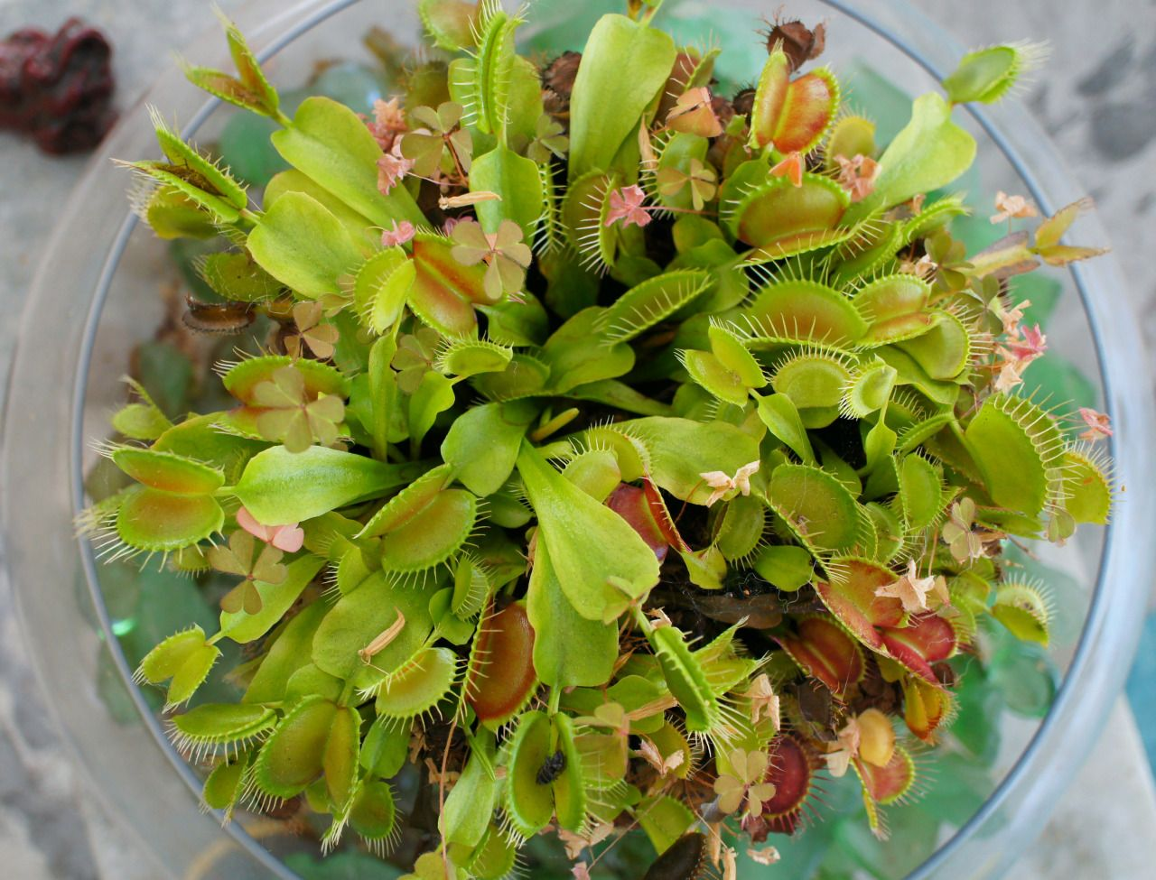 Flora file how to keep your venus fly trap happy and for Zimmerpflanzen fliegen
