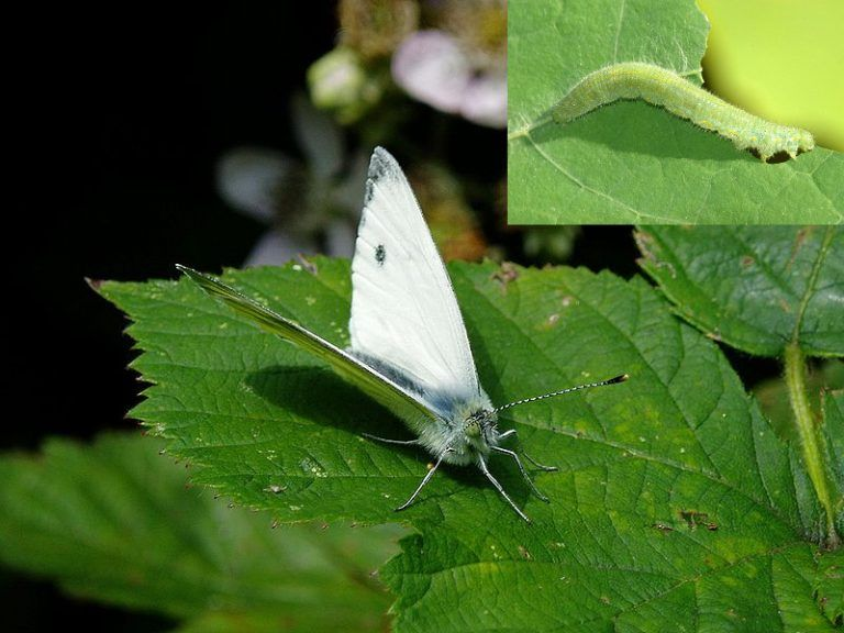 Cabbage white butterfly and its caterpillar. PEST BUG