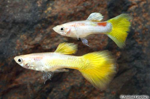 Yellow Micariffe Guppy Guppy Fish Oscar Fish Guppy