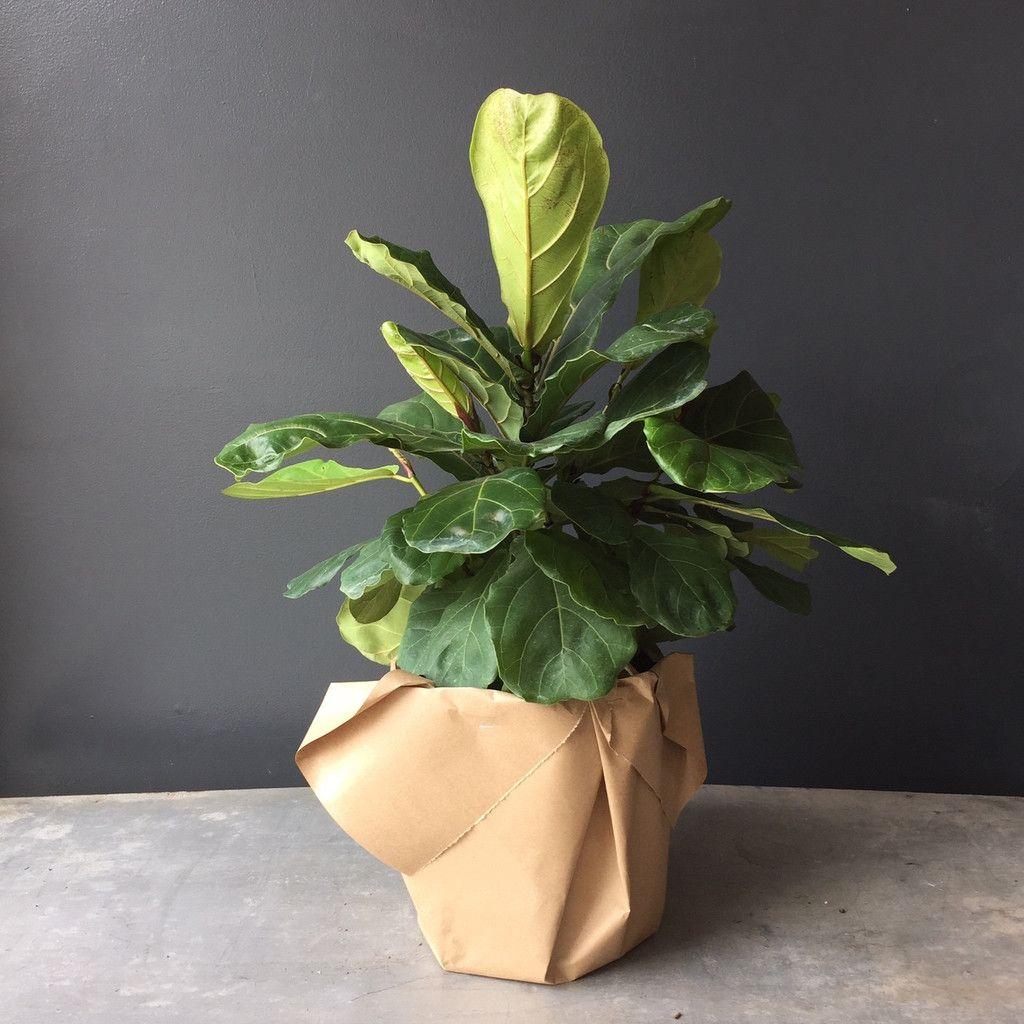 Ficus Lyrata (Fiddle Leaf Ficus) Ficus, Fiddle leaf