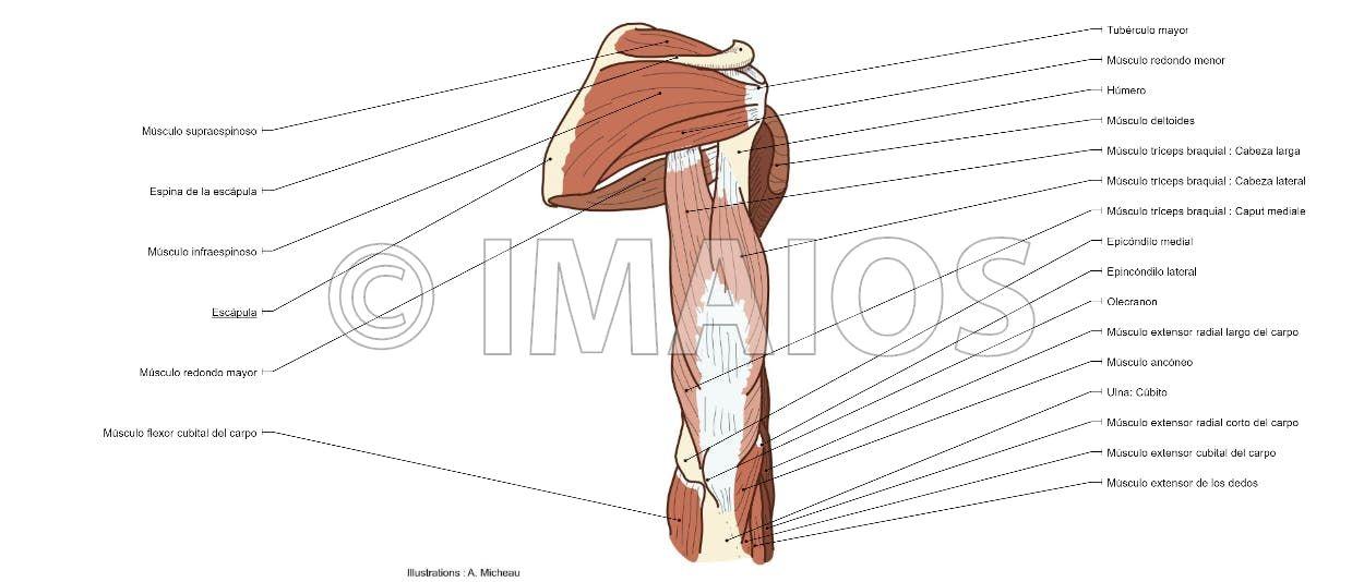 Músculos: sistema muscular - Brazo - Anatomía (Ilustraciones ...