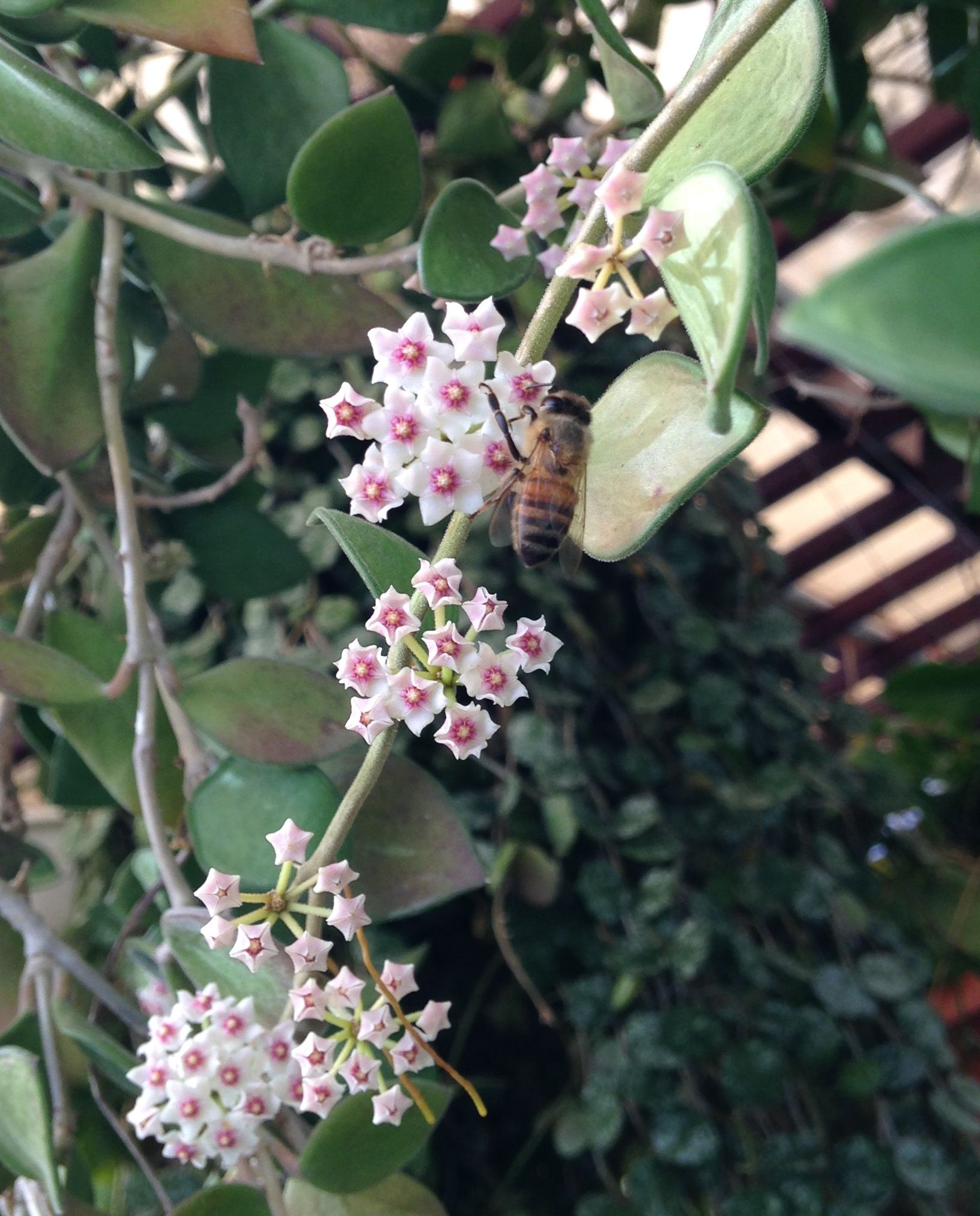 Hoya Nummulaiodes Hoya Lover Jan In Swflphotos Of Hoya Flowers