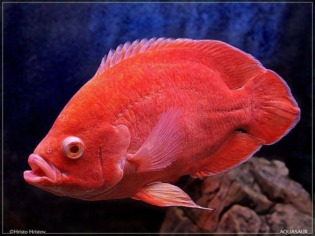 Albino Red Oscar Fish The Image Kid Has It