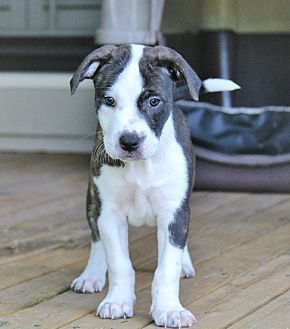 Harrisburg Pa American Staffordshire Terrier Boxer Mix Meet Spruce A Puppy For Adoption Htt Pitbull Puppies American Staffordshire Terrier Pets