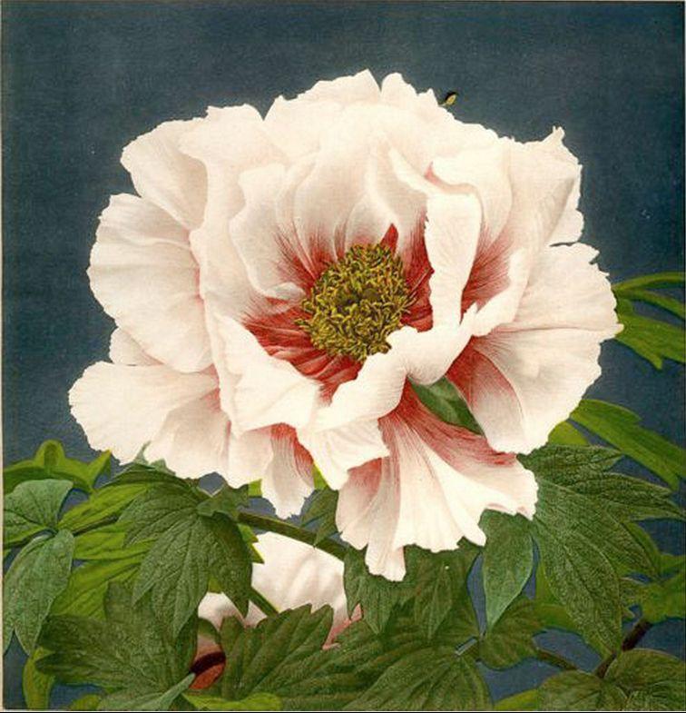 KAZUMA OGAWA (1860-1929) Fleur japonaise, vers 1896 Collotypie rehaussée a l'aquarelle