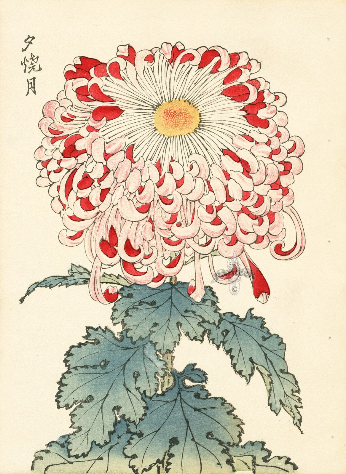 Keika Hasegawa Chrysanthemum Wood Block Prints 1893 Japanese Woodblock Printing Flower Art Botanical Watercolor