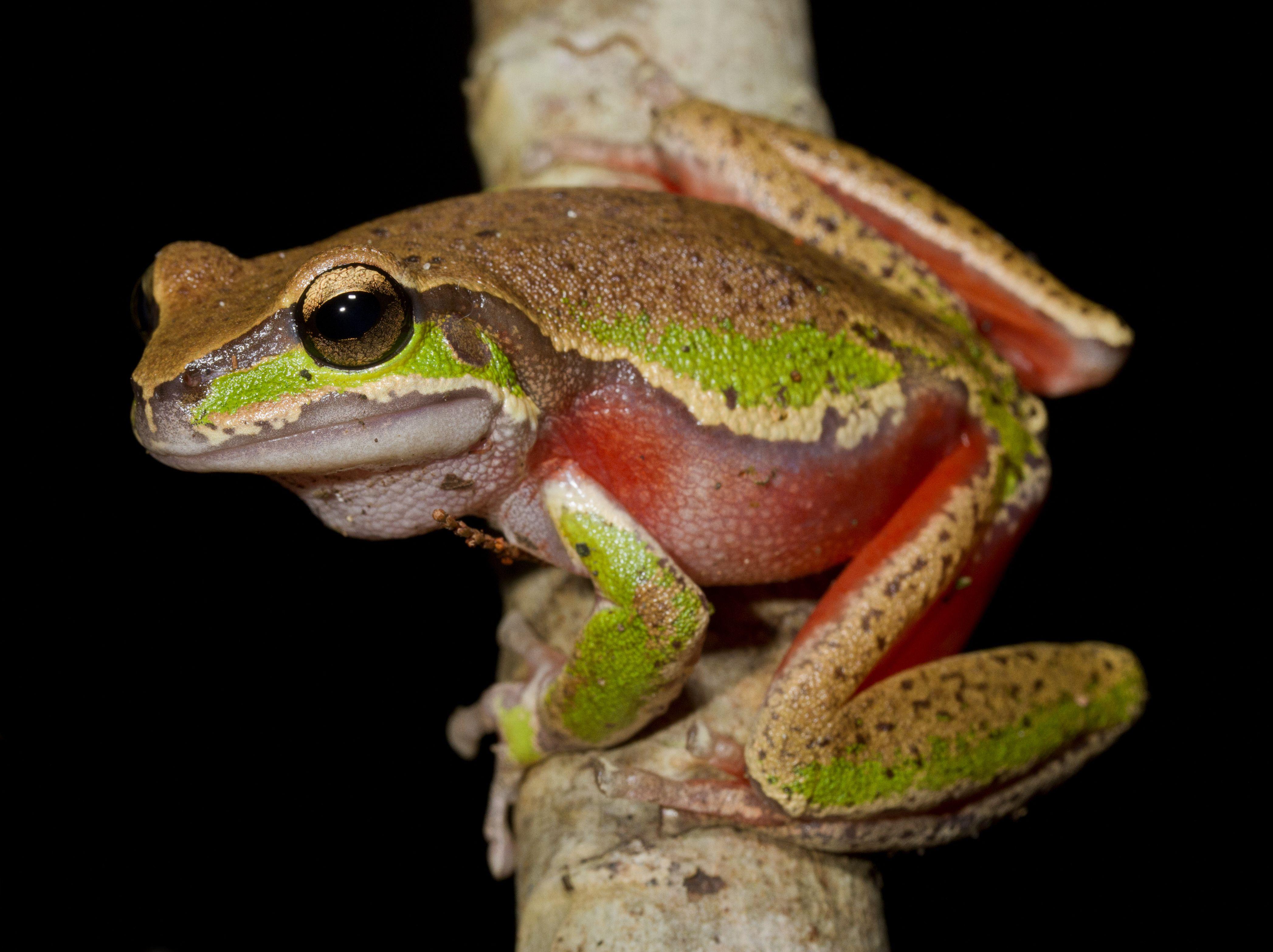 Blue Mountains tree frog (Litoria citropa) [4188 x 3132] [OC] - http://ift.tt/2bQ8NCP
