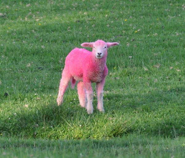 Dyed Lambs | AND NOW I'M RUNNING…  | Rainbow Animals | Pink