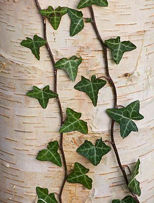 STONE LANE GARDEN, DEVON: WINTER - IVY GROWING ON THE TRUNK OF BETULA UTILIS SSP UTILIS