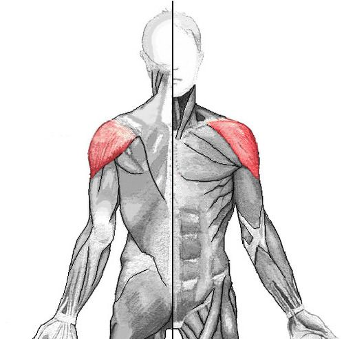 muscles of the human body flashcards | quizlet | muscles, Muscles
