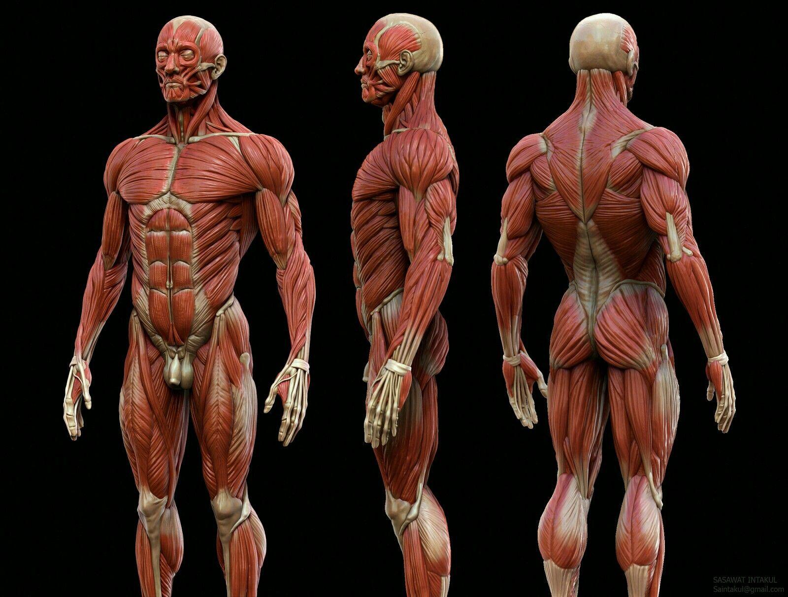 Fantástico Anatomía Muscular Detallada Regalo - Anatomía de Las ...