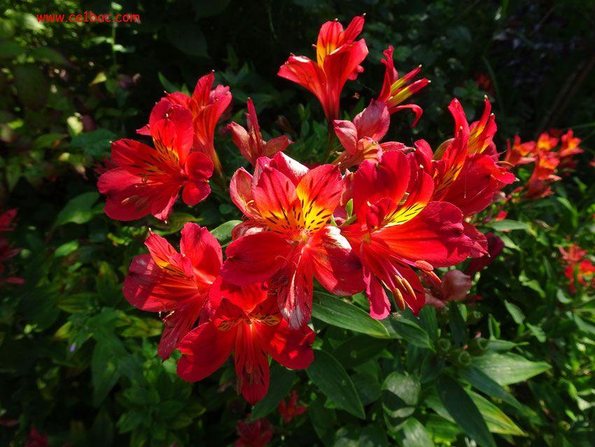 Mes photos arbres et fleurs les arbres photo arbre et fleurs rouges - Arbres a fleurs rouges ...
