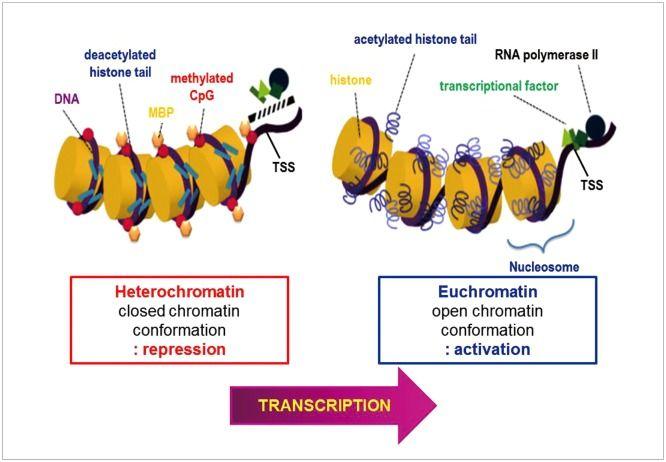 Schematic Diagram Illustrating Euchromatin And Heterochromatin Rna Polymerase Molecular Molecular Biology