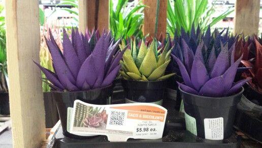 Cacti Succulents At Home Depot Succulents Garden Plants
