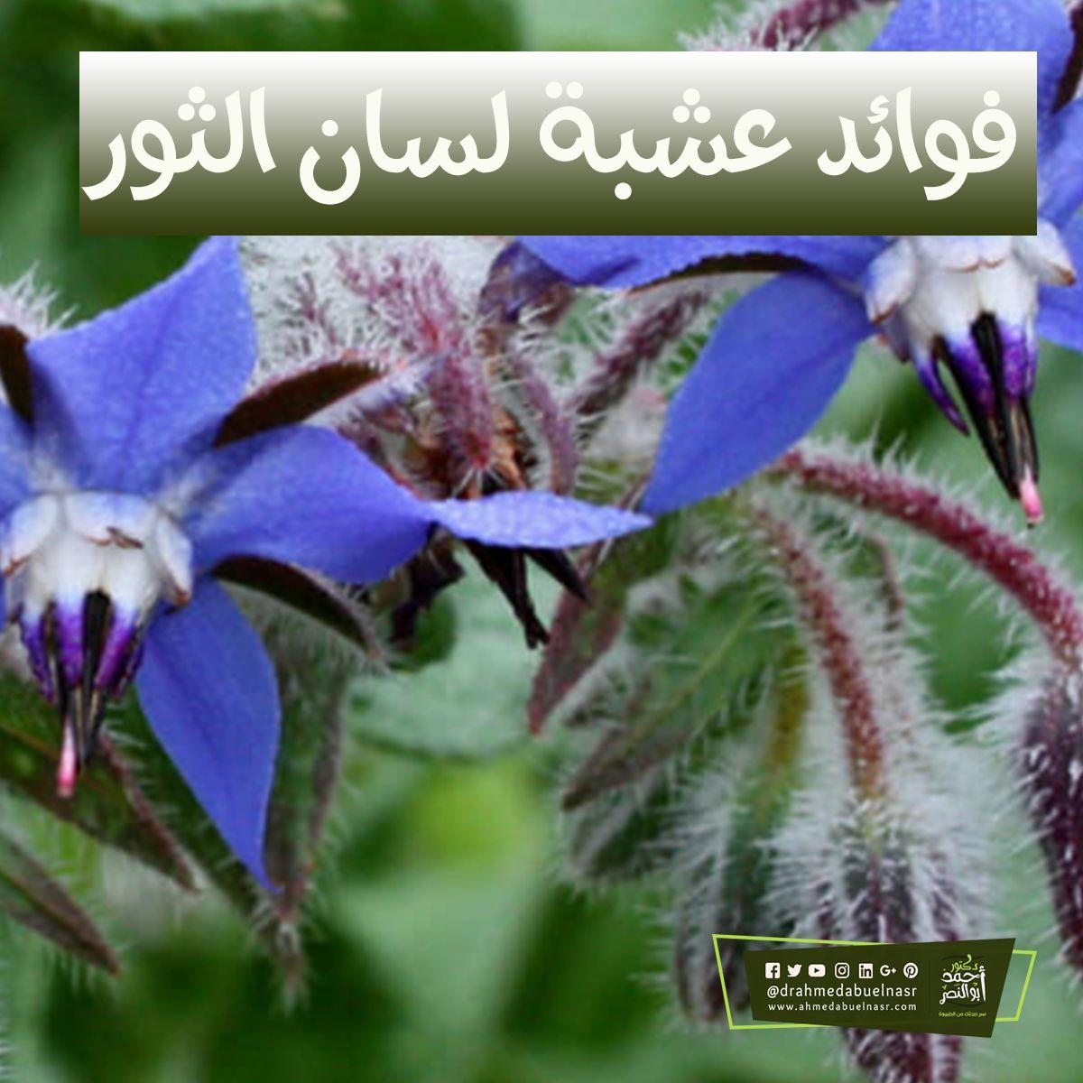 فوائد عشبة لسان الثور Herbs Plants
