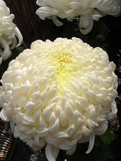 Chrysanthemum Festival Atsumono Birth Flowers Chrysanthemum Amazing Flowers