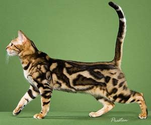To Own A Marbled Bengal Cat Wild Gorgeous Love Of My Life