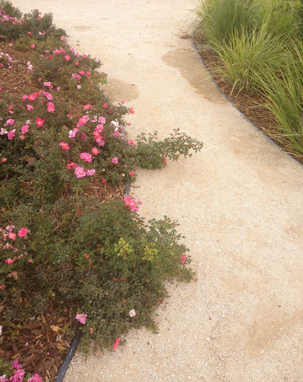 Decomposed Granite Pathways Are Easy And Affordable Shown Here With Groundcover Roses Bunch Gres